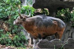 Den röda kon har organskadan på hud royaltyfria bilder