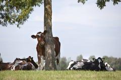 Den röda kon i grön holländsk äng tar bort klåda mot träd royaltyfri bild