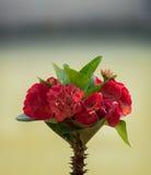 Den röda kronan av taggar blommar, Euphorbiamillien Desmoul Arkivfoton