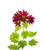Den röda krysantemumet blommar med sidor som isoleras Royaltyfri Bild