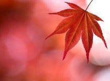 Den röda lönnlövet i skog Arkivbilder