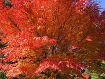 Den röda lönnlövet i vintersäsong i Tokyo Royaltyfria Foton