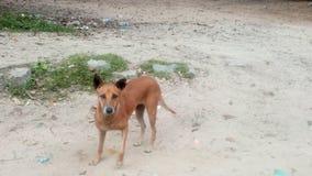 Den röda mjuka hunden med förväntningar arkivfoton
