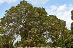 Den röda mogna kasjun är på trädet Kasjuträd Färgen av den röda kasjun royaltyfri bild