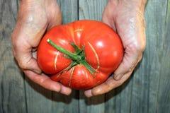 Den röda mogna tomaten i en kvinnlig gömma i handflatan på den gråa bakgrunden royaltyfria bilder