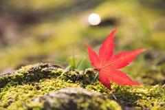 Den röda Momiji lönnlövet på den gröna mossan och vaggar Arkivfoto
