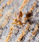 Den röda myran Fotografering för Bildbyråer