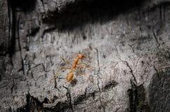 Den röda myran Arkivbild