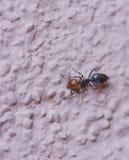 Den röda myran Royaltyfria Foton