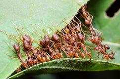 Den röda myran, lag för myrabroenhet samarbetar för att uppnå målet royaltyfri foto
