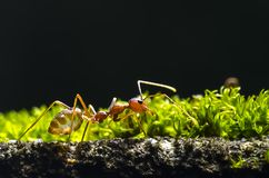 Den röda myran som framme går av den gröna mossan Royaltyfri Bild