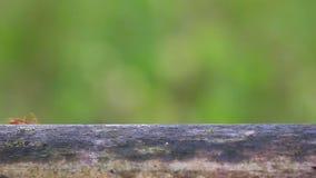 Den röda myran som går på husstaketet lager videofilmer