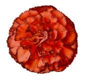 Den röda nejlikablomman på en vit isolerade bakgrund med den snabba banan closeup För design royaltyfri fotografi