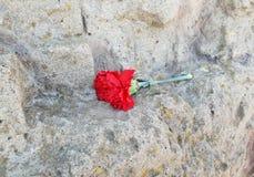 den röda nejlikan ligger på en vägg av den lösa stenen royaltyfria foton