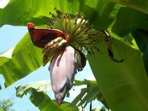 Den röda och gråa bananen blommar på trädet Arkivbild