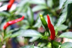 Den röda och gröna chili för öga för fågel` s växer i trädgården arkivbild