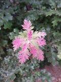 Den röda och gröna nya eken spricker ut på ett träd Arkivfoton
