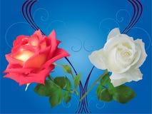 Den röda och vita rosen blommar på blått Royaltyfri Fotografi