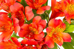 Den röda orange alstroemaeriaen blommar bakgrund Royaltyfri Bild