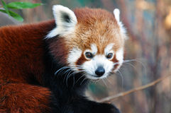 Den röda pandan Royaltyfri Foto