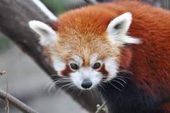 Den röda pandan Royaltyfri Fotografi