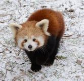 Den röda pandan behandla som ett barn Arkivfoton