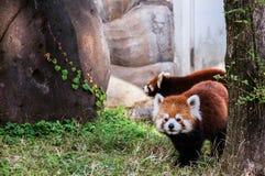 Den röda pandan eller lesser panda Royaltyfria Bilder