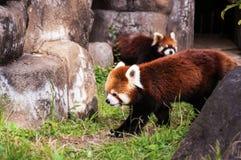 Den röda pandan eller lesser panda Arkivbilder