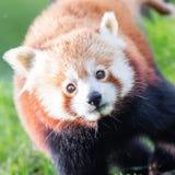 Den röda pandan, Firefoxen eller Lesser Panda Arkivfoto