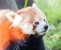 Den röda pandan, Firefoxen eller Lesser Panda Arkivfoton