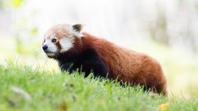 Den röda pandan, Firefoxen eller Lesser Panda Royaltyfri Fotografi