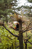 Den röda pandan i mitt parkerar zoo Arkivfoto