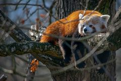 Den röda pandan som är gullig, apelsin, kopplar av royaltyfria bilder