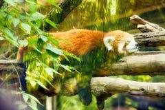 Den röda pandan sover sött på ett träd bak exponeringsglas arkivfoto