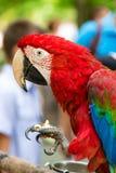 Den röda papegojan äter muttern arkivbilder