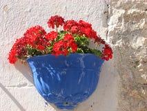 Den röda pelargon blommar på den vita väggen arkivbild
