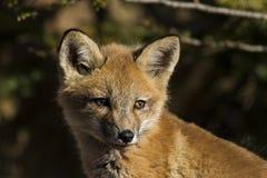Den röda räven behandla som ett barn Royaltyfria Foton