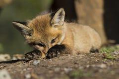 Den röda räven behandla som ett barn Royaltyfri Foto