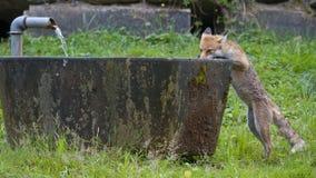 Den röda räven dricker från springbrunnen Fotografering för Bildbyråer