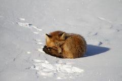 Den röda räven krullade upp i en snowbank, medan att stirra som fanns nära Churchill, Manitoba royaltyfria bilder
