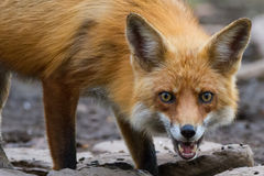 Den röda räven med gräns synar att stirra Royaltyfria Foton