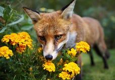 Den röda räven som luktar ringblomman, blommar i trädgården Fotografering för Bildbyråer