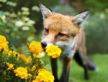 Den röda räven som luktar ringblomman, blommar i trädgården Arkivbilder