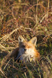 Den röda räven som vilar i äng med ögon, stängde sig Fotografering för Bildbyråer