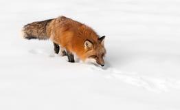 Den röda räven (Vulpesvulpes) förföljer till och med snowen Royaltyfri Bild