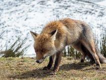 Den röda räven (Vulpesvulpes) ordnar till för att jaga Arkivbilder