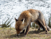 Den röda räven (Vulpesvulpes) ordnar till för att jaga arkivfoto