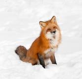 Den röda räven (Vulpesvulpes) sitter i Snow med det reste upp huvudet Arkivbilder