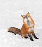 Den röda räven (Vulpesvulpes) sitter i Snow som ser upp Fotografering för Bildbyråer