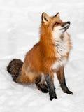 Den röda räven (Vulpesvulpes) sitter i snowen som ser upp Arkivbild